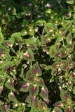 Painted nettle. Leaves - Latin name - Plectranthus scutellarioides Solenostemon scutellarioides royalty free stock image