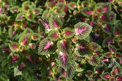 Painted nettle. Leaves - Latin name - Plectranthus scutellarioides Solenostemon scutellarioides stock photos