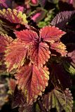 Painted nettle. Leaves - Latin name - Plectranthus scutellarioides Solenostemon scutellarioides royalty free stock photography