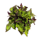 Painted nettle on white background. Colorful leaves ofPainted nettle or plectranthus scutellarioides on white background a popular indoor plant Royalty Free Stock Photography