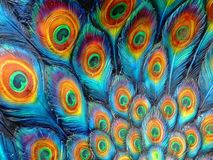 Painted Peacock. Peacock Feather Pattern stock image