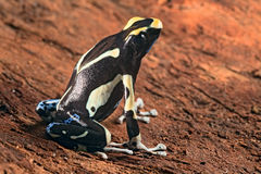 Painted poison dart frog. Dendrobates tinctorius macro of a beautiful poisonous amphibian Stock Photography