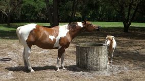 A painted pony and her foal at a training farm in ocala. Two horses in a shaded field drinking from a well stock video footage