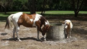 A painted pony and her foal at a training farm in ocala stock video footage