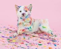 Painted Pooch Royalty Free Stock Images