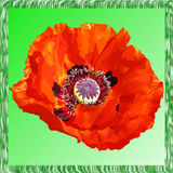 Painted poppy on green background Stock Photo