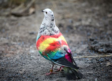 Painted racing pigeons Royalty Free Stock Image