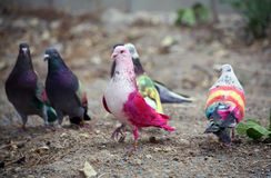 Painted racing pigeons Stock Photo