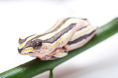 Painted Reed Frog Stock Photography