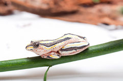 Free Painted Reed Frog Royalty Free Stock Photography - 44009347