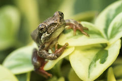 Free Painted Reed Frog Stock Photos - 71088443