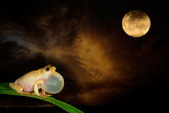 Painted reed frog and moon Stock Image