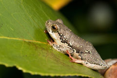 Painted Reed Frog Stock Images