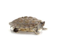 Painted river terrapin Stock Photo