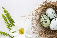 Painted robin eggs in straw nest with white daisy on bright background. High key. Copy space. Flat lay style royalty free stock photography