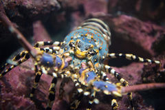 Painted rock lobster  in the coral reef. Wonderful and beautiful underwater Marine fishes  Painted rock lobster  in the coral reef Stock Images