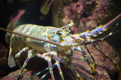 Painted rock lobster in the coral reef royalty free stock photo