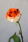 Painted Rose Royalty Free Stock Images