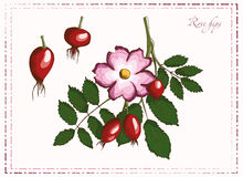 Painted rosehips Royalty Free Stock Photography