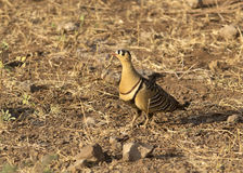 Painted Sandgrouse bird. Male Painted Sandgrouse bird sitting on ground in dry forest Royalty Free Stock Image