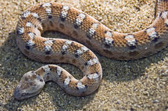 Painted saw-scaled viper 1. Painted saw-scaled viper. Latin name - Echis coloratus Royalty Free Stock Image