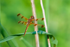 Painted Skimmer. Hanging from a plant stock photos