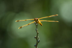 Painted Skimmer Stock Photos
