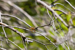 Painted Sklmmer Dragonfly on Tree Branch Stock Photography