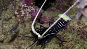 Painted spiny lobster Raja Ampat Indonesia stock footage
