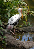 Painted Stork 1 Stock Photos