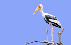 Painted stork. A painted stork setting on tree Royalty Free Stock Photo