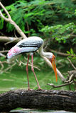 Painted stork. The Painted Stork (Mycteria leucocephala) is a large wading bird in the stork family. It is found in the wetlands of the plains of tropical Asia Stock Images
