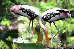 Painted Stork. Is strolling around for food Stock Photos