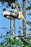 Painted stork Royalty Free Stock Photography