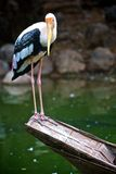 Painted stork Stock Photos