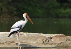 Painted Stork Stock Photo
