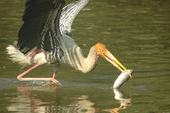 A painted stork. Gets hold of a fish Stock Photo