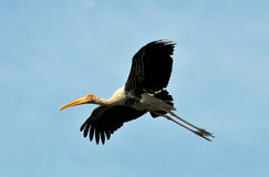 Painted stork. Flying painted stork looking great in the blue sky stock image
