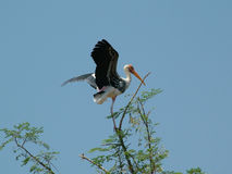 Painted Stork. On tree top Stock Photography