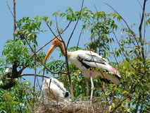 Painted Stork. With youngonce in the nest Stock Images
