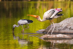 Painted stork and asian openbill stork stock photos