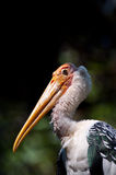 Painted Stork bird. Portrait shot of a Painted Stork or Mycteria leucocephala Royalty Free Stock Image