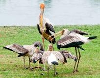 The Painted stork bird. Mycteria leucocephala Stock Photos