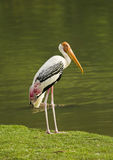Painted Stork bird. Painted Stork bird at the zoo, in thailand Stock Photos