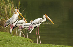 Painted Stork bird. Painted Stork bird at the zoo, in thailand Royalty Free Stock Photo