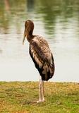 The Painted stork bird. Mycteria leucocephala Stock Photo