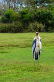 Painted Stork Bird Royalty Free Stock Photos