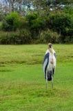 Painted Stork Bird. Beautiful Painted Stork Bird Royalty Free Stock Photos