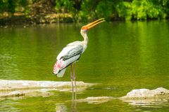 Painted Stork bird at birds sanctuary. Having fun in the water royalty free stock photos