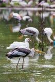 Painted stork bird. Close-up Stock Photo